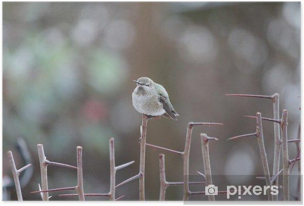 Plakat Hummingbird odpoczynku - Ptaki