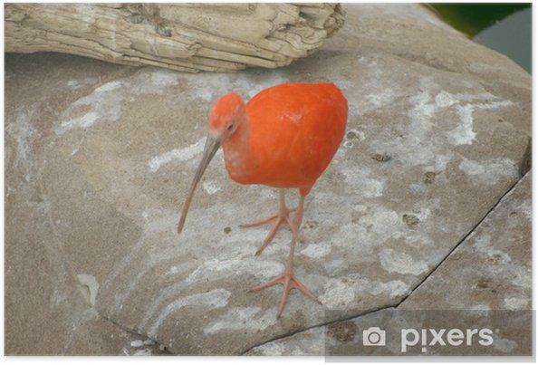 Plakat Ibis Sauvage - Ptaki