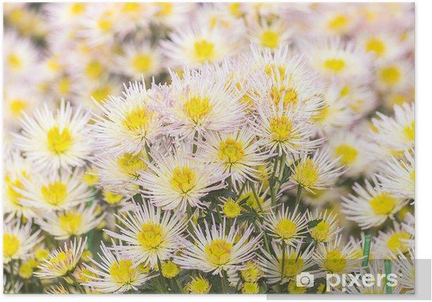 Plakat Igła chryzantema różowy biały - Kwiaty
