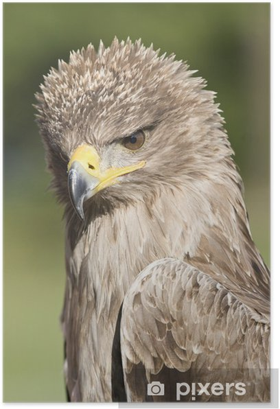 Plakát Indian tawny eagle portrait front view - Témata