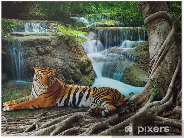 Plakat Indochiny tygrysa leżącego z relaksu w banyantree przeciwko bea - Tygrysy