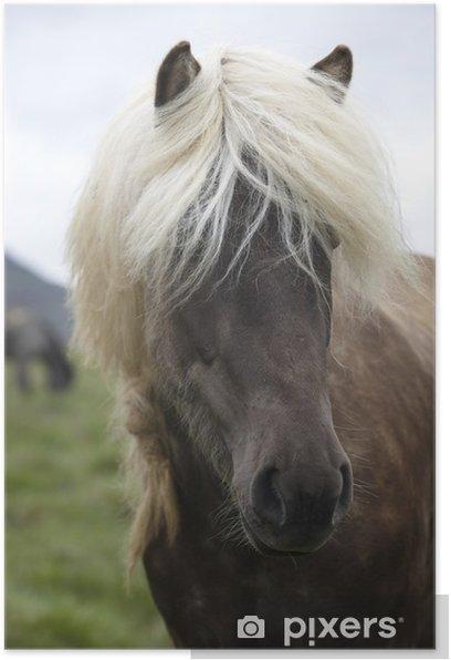 Plakát Island. Vatnsnes Peninsula. Islandští koně pasoucí se na hř - Savci