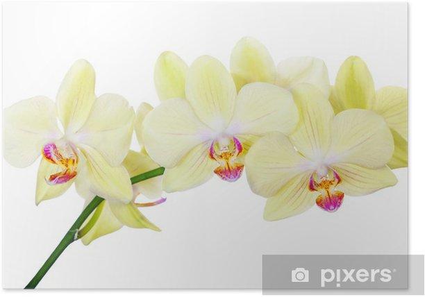 Plakat Izolowane orchidea oddziału z cytryną żółte kwiaty - Kwiaty