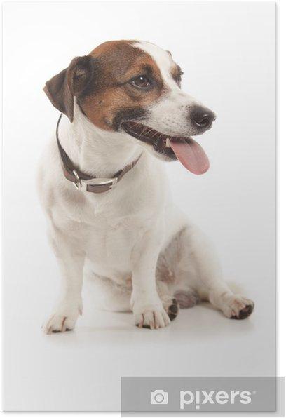 Plakat Jack russell terrier - Ssaki
