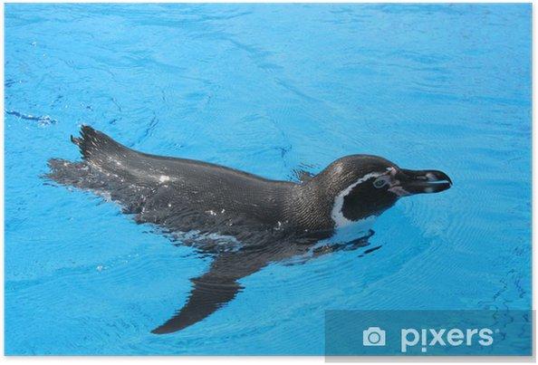 Plakat Jackass pingwina - Zwierzęta żyjące pod wodą