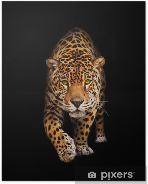 Plakat Jaguar w ciemności - widok z przodu, odizolowane -