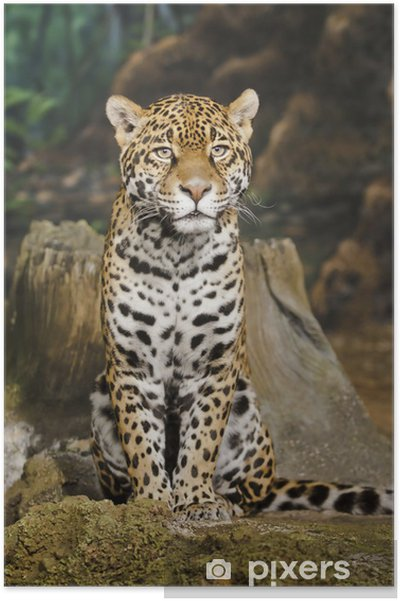 Plakat Jaguar - Ssaki