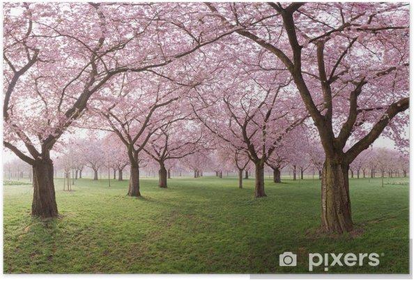Plakat Japońska Wiśnia Kwiaty Wiersze Drzewa W Parku
