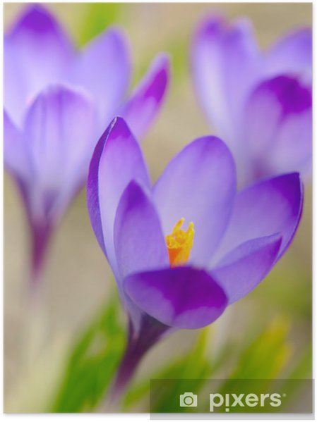 Plakát Jarní crocus květiny. Soft focus - Roční období