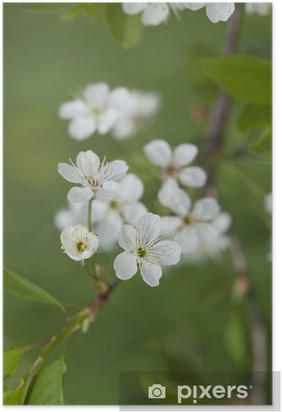 Plakát Jarní kvetoucí jablko. - Květiny
