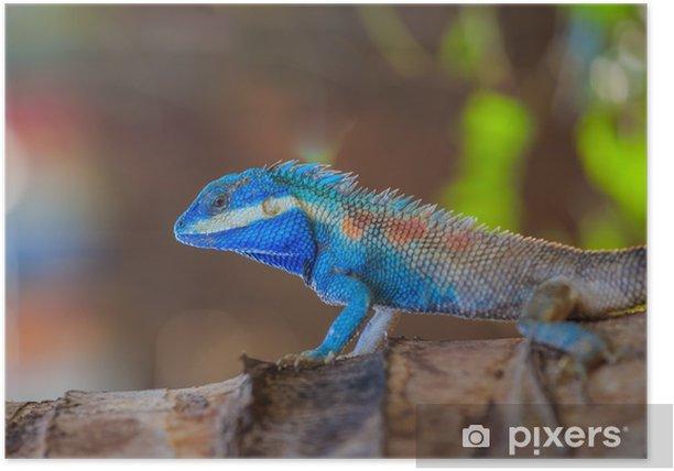 Plakat Jaszczurka, smok, kameleon, jaszczurka błękitna, indyjska jaszczurka indyjska, indyjski-chiński krwiopijca - Zwierzęta