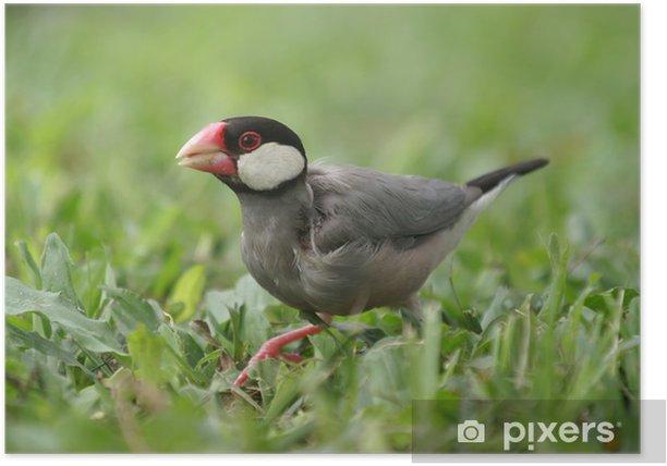 Plakat Java sparrow - Ptaki