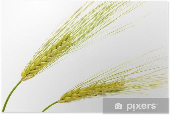 Plakat Jęczmienia uszy na białym tle - Rolnictwo