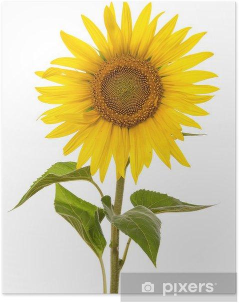 Plakat Jeden Sunflower - Kwiaty
