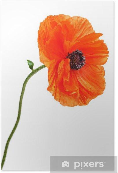 Plakat Jednym maku na białym tle. - Kwiaty