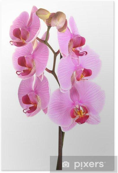 Plakát Jemný krásné orchideje izolovaných na bílém - Nálepka na stěny