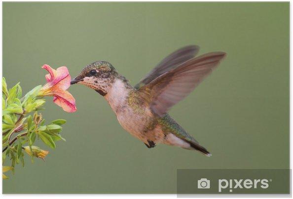 Plakát Juvenile Ruby-kolibřík (archilochus colubris) - Ptáci