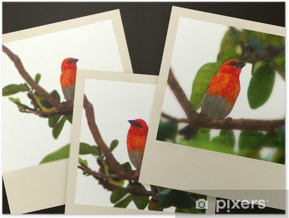 Plakát Kardinál pták - Ptáci