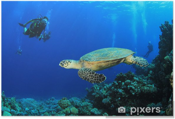 Plakát Kareta pravá a potápěči na korálovém útesu v Rudém moři - Vodní sporty