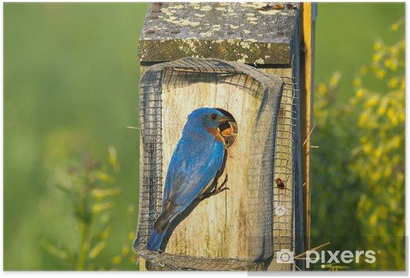 Plakat Karmienie wschodniej Bluebird - Ptaki