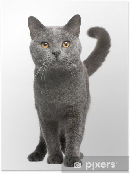 Plakát Kartouzské kočky, 16 měsíců starý, stojí - Savci