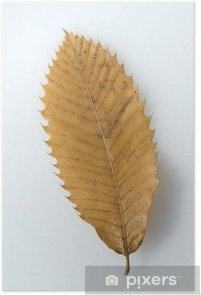 Plakat Kasztan liści, jesień - Drzewa