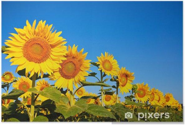 Plakat Kilka słoneczniki - Rolnictwo