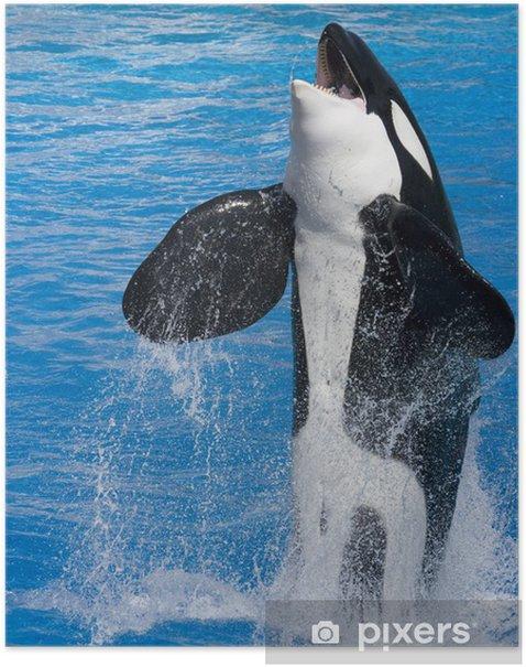 Plakat Killer Whale skoków z wody - Zwierzęta żyjące pod wodą