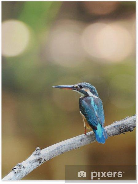 Plakát Kingfisher perch - Ptáci