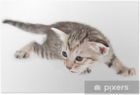 Plakát Kitten skrčená - Savci