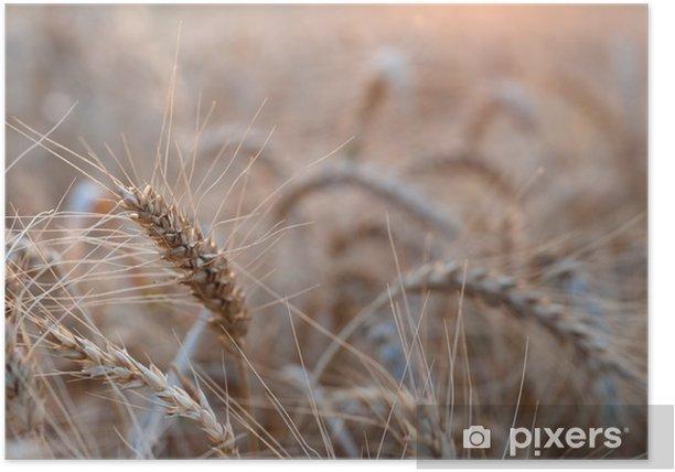 Plakat Kłosy pszenicy podczas zachodu słońca - Rolnictwo