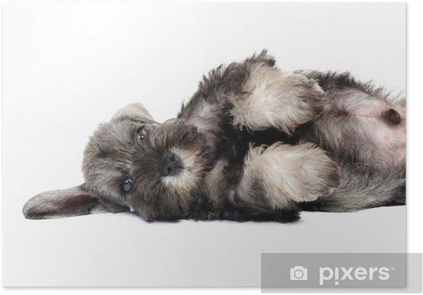 Plakát Knírač štěně ve studiu na bílém pozadí - Savci
