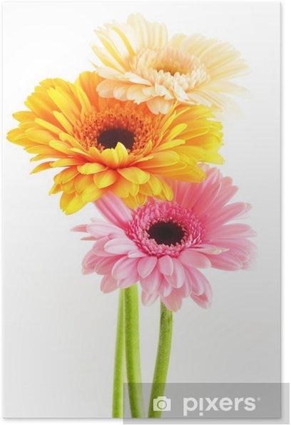 Plakat Kompozycja z trzech gerber na białym - Kwiaty