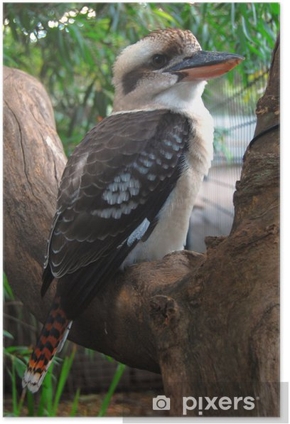 Plakat Kookaburra - Ptaki
