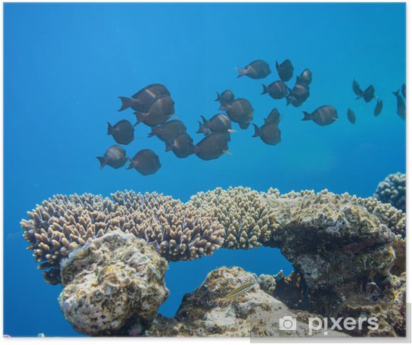 Plakat Koralowych ryb - Zwierzęta żyjące pod wodą