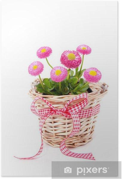 Plakat Kosz wiklinowy z stokrotki Bellis wyizolowanych nad białym - Kwiaty