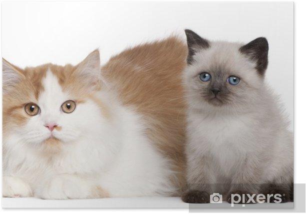 Plakat Kot brytyjski krótkowłosy kocięta, 2 i 5 miesięcy życia, siedzący - Ssaki
