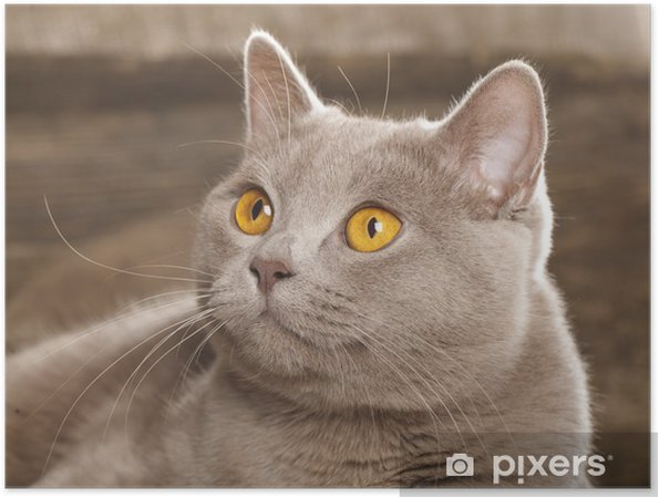 Plakat Kot Brytyjski Rzadko Kolor Liliowy Pixers żyjemy By