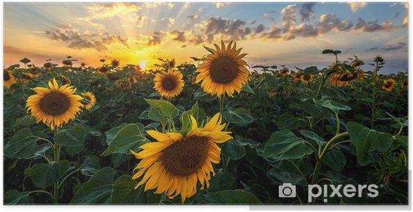 Plakat Krajobraz lato: piękno zachód słońca nad polem słoneczników. widoki panoramiczne - Krajobrazy