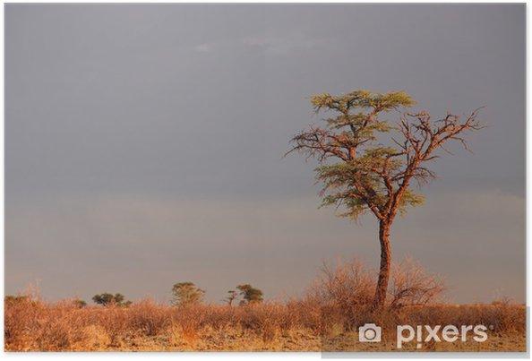 Plakat Krajobraz z camelthorn akacji (Acacia erioloba), Kalahari, Republika Południowej Afryki - Drzewa