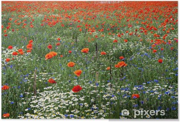 Plakat Krajobraz z makami i rumianku-13 - Kwiaty