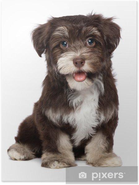 26edec6025f Plakát Krásná usměvavá čokoládovou havanský psík štěně • Pixers ...