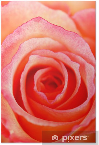 Plakát Krásné růže - Květiny