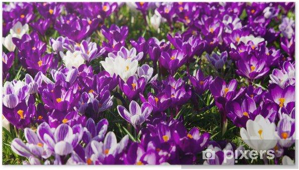 Plakat Krokusse - Kwiaty