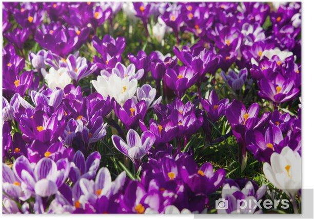 Plakát Krokusy - Květiny