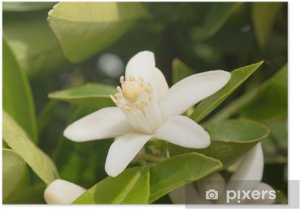Plakát Květ pomeranče - Květiny