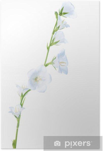 Plakat Kwiat biały dzwon wyizolowanych, tło - Kwiaty