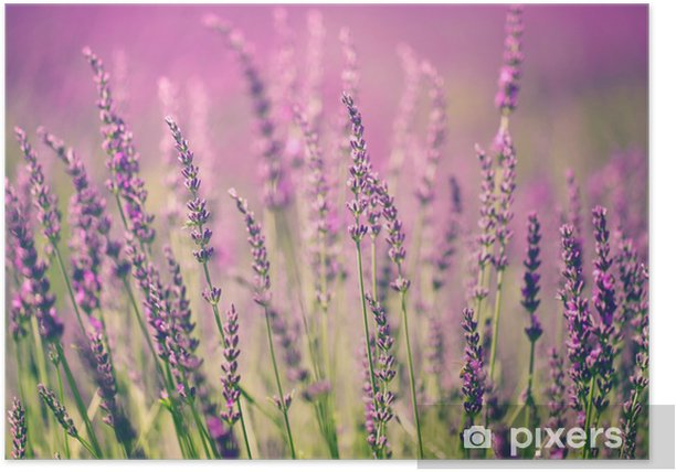 Plakat Kwiat lawendy -