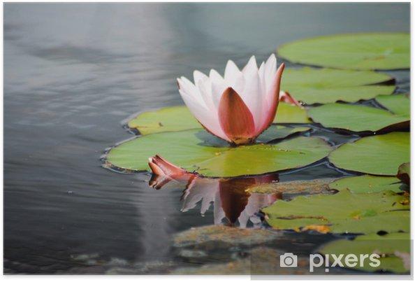 Plakat Kwiat lotosu. Delikatne piękno - Rośliny