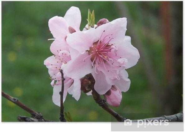 Plakat Kwiaty brzoskwini - Kwiaty